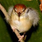 Temminck's Jungle Babbler