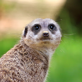 Timon by Claudiu Petrisor - Animals Other ( zoo, green, guard, germany, meerkat )