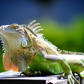 Iguana by Apip Salman - Animals Reptiles