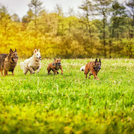 by Myla Muis - Animals - Dogs Running