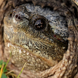 Surprised Snapping Turtle by Big Pikey - Animals Reptiles ( female snapping turtle, turtle close-up, turtle portrait, turtle head, snapping turtle, miss grumpy, snapper portrait,  )