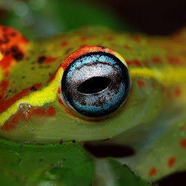 Boophis rappiodes.From Madagascar (Andasibe) by Serge Pasquasy - Animals Amphibians
