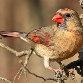 Mrs. Cardinal by Mike Craig - Animals Birds