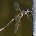 California Spreadwing (male)