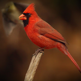 Male Northern Cardinal  by Paul Mays - Animals Birds