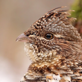 Ruffed Grouse Portrait by Pierre Larouche - Animals Birds (  )