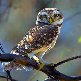 Spotted Owlet 1 (Banasthali).jpg