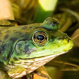 bullfrog close-up by Todd Wood - Animals Amphibians