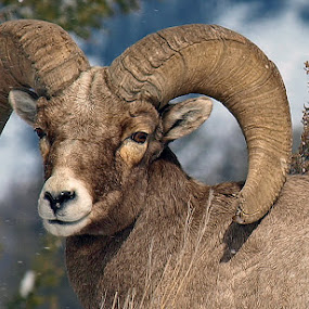 Yellowstone Big Horn Ram by Diana Treglown - Animals Other Mammals