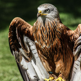 Kite by Garry Chisholm - Animals Birds ( bird, garry chisholm, nature, wildlife, prey, raptor )
