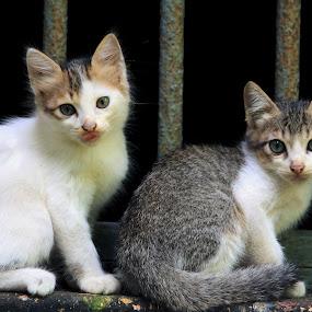 Miyaavs :) by Vivek Chethan Muliya - Animals - Cats Kittens ( cats, animals, sitting, pair )
