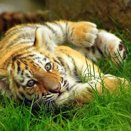 Tiger Cub by Ralph Harvey - Animals Lions, Tigers & Big Cats ( animals, tiger, wildlife, ralph harvey, marwell zoo )