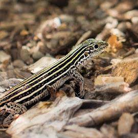 Lizard by Ida Burress - Animals Reptiles ( macro, lizard, macrophotography, repile, nature, macro100mm )