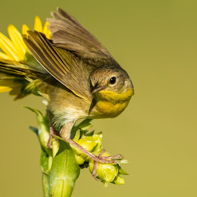 Common Yellow Throat by Tom Samuelson - Animals Birds