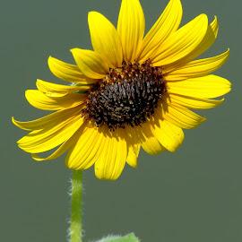 Black-eyed Susie by Shawn Thomas - Flowers Single Flower