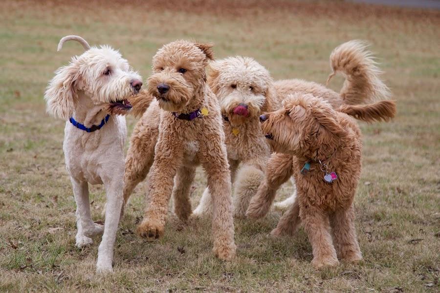 Romp by Ross Bolen - Animals - Dogs Running