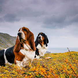 Autumn flowers by Annette Nordlinder - Animals - Dogs Portraits ( dogs, mountain, white, posing, up, colours, basset hounds, two, sky, sitting, autumn, brown, grey, black,  )
