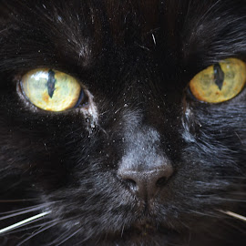 can i look in your soul by Clive Williams - Animals - Cats Portraits