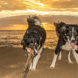 dawn with lovely dogs by Rqserra Henrique - Animals - Dogs Portraits ( brazil, dawn, dogs, rqserra, beach, landscape, morning )