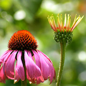 by Charlotte Weychan - Nature Up Close Flowers - 2011-2013 ( plants, pink, coneflower, flowers )