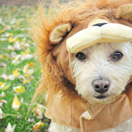Lion Dog, Triskit 2 by B Lynn - Animals - Dogs Portraits ( big cat, face, cat, costumes, dogs, warm, dress up, cute, leaves, halloween, hairy, silly, big cats, puppies, autumn, pets, humor, portraits, hair, lion, funny, portrait, pet portrait, holiday, fluffy, pet portraits, color, pet, fall, outdoors, costume, puppy, adorable, dog )