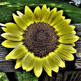 Single sunflower by Mary Gallo - Flowers Single Flower ( single flower, sunflower, flowers, yellow flower )