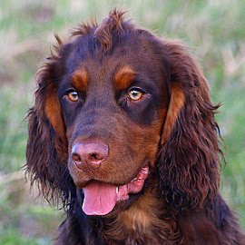 Dax by Chrissie Barrow - Animals - Dogs Portraits ( tongue, cocker spaniel, pet, pup, fur, ears, brown, dog, nose, tan, portrait, eyes )