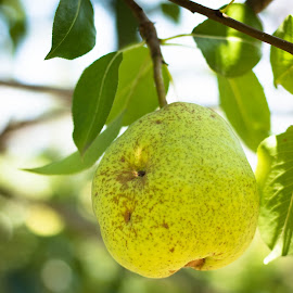 Pear by Angelica Less - Nature Up Close Gardens & Produce ( fruit, shallow dof, fruit tree, tree, green, pear tree, produce, pear )