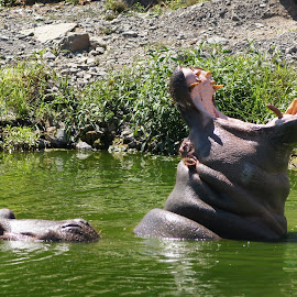 Hungry hungry hippos by Lori Williams - Novices Only Wildlife ( hippocampus )