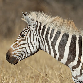 White Maned Zebra!! by Anthony Goldman - Animals Other Mammals ( wild, nature, serengeti, rare, wildlife, white maned, zebra, tanzania, mammal, east africa )