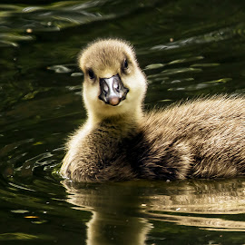 not an ugly duckling by Joseph Ellwood - Animals Birds