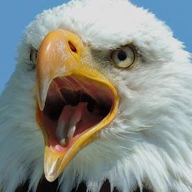 Bald Eagle by Sara Turner - Animals Birds ( bird, eagle, nature, bald eagle, raptor, feather )