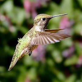 HummerFun 181 by Raphael RaCcoon - Animals Birds