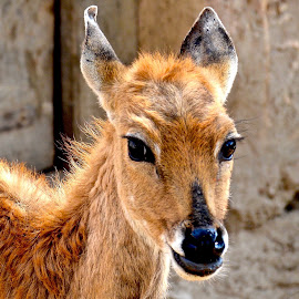 BABY ANTELOPE by Doug Hilson - Animals Other Mammals