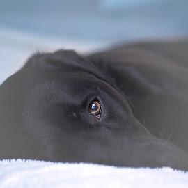 by Daniel Meyer - Animals - Dogs Portraits ( dogs, color, dog portrait, dog, eyes )