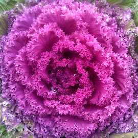 Ornamental Kale by Cynthia Nuckolls - Nature Up Close Gardens & Produce ( nature, ornamental kale, close up, garden )