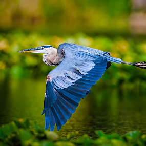 Great Blue Heron Flight by Don Holland - Animals Birds