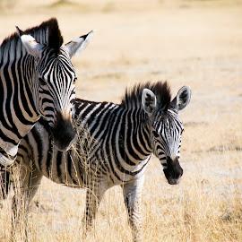 Zebras by Ava Kjos - Animals Other Mammals ( botswana, wildlife, zebra, africa, animal )