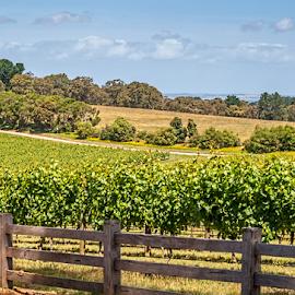 vineyard by Vibeke Friis - Landscapes Prairies, Meadows & Fields ( vineyard, grapes, rows, port phillip )