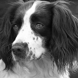 Pretty Poppy by Chrissie Barrow - Black & White Animals ( monochrome, springer spaniel, black and white, pet, fur, ears, dog, mono, nose, portrait, eyes, animal )