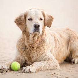 Golden Retriever by Selena Chambers - Animals - Dogs Portraits ( beach, dog, portrait, golden retriever )