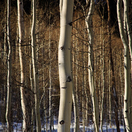 Aspens by Gannon McGhee - Landscapes Forests ( winter, snow, colorado, trees, aspens )