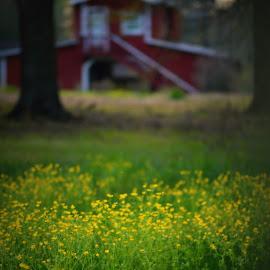 Barn in Yellow Flowers by Rhonda Kay - Landscapes Prairies, Meadows & Fields