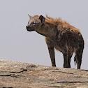 Hiena manchada (Spotted hyena)