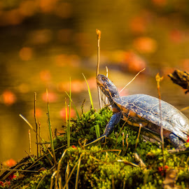 Turtle by Mike Martin - Animals Reptiles ( water, shell, reflection, dawn, neck, moss, great swamp national wildlife refuge., wildlife, reptile, turtle, swamp )
