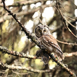 Boreal owl with prey by Lillian Knutsen Aspås - Animals Birds ( adult boreal owl, perleugle, aegolius funereus, owls, boreal owl )