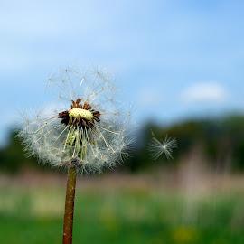 Dandelion in the Wind by Barbara Nuetzmann - Nature Up Close Other plants ( wind, breeze, dandelion, dandelion seed )
