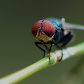 Cukuik by Just Arief - Animals Insects & Spiders ( macro, housefly, insect, natural, photography )