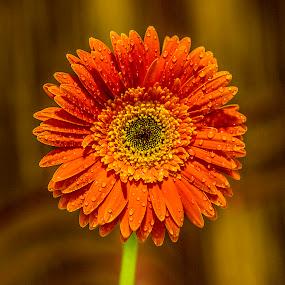 by Rajeev Krishnan - Flowers Single Flower