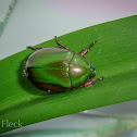 Green Rutelid Beetle
